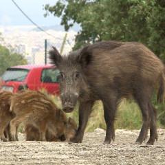 Ciutat Salvatge: els animals envaeixen la jungla d'asfalt